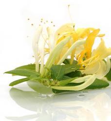 Wild Honeysuckle Fragrance Oil 18335